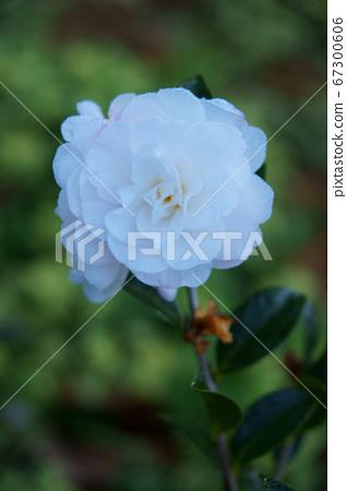 白色茶花,花卉,植物,茶樹花 67300606