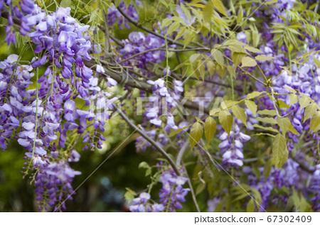 紫藤,花卉,爬藤植物,紫藤花,紫色 67302409