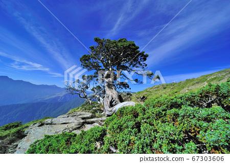 合歡山,合歡山國家森林遊樂區,臺灣,南投縣,仁愛鄉,圓柏樹 67303606