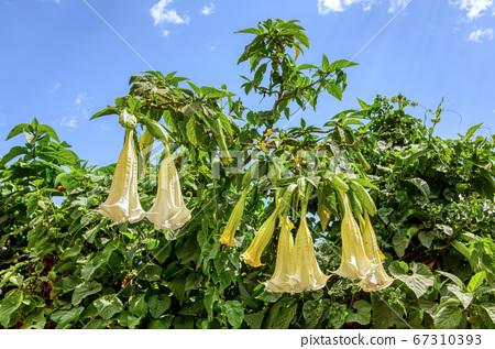 Datura Stramonium wild flower in Ethiopia 67310393