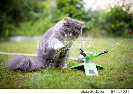 maine coon cat playing with water sprinkler 67317032