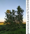 Three birch trees on the background of fields lit by the setting sun, smart 67320998