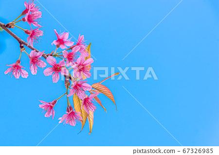 Blossom of Wild Himalayan Cherry (Prunus 67326985