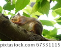 Squirrel climbing a tree 67331115