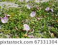 일본의 해변에서 피는 갯메 꽃 (바닷가 메꽃) 01 67331304