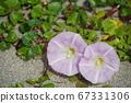 일본의 해변에서 피는 갯메 꽃 (바닷가 메꽃) 02 67331306