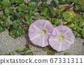 일본의 해변에서 피는 갯메 꽃 (바닷가 메꽃) 07 67331311