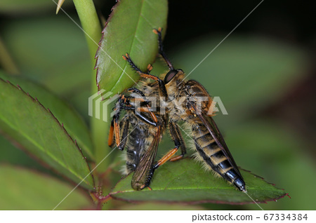 시오야아부 식인 풍습 일본의 곤충 67334384