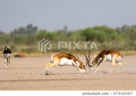 Two male blackbuck fighting in an open field Antilope fighting with full force from long horns in green background and scenic landscape with skyline at blackbuck national park Velavadar gujrat india 67342087