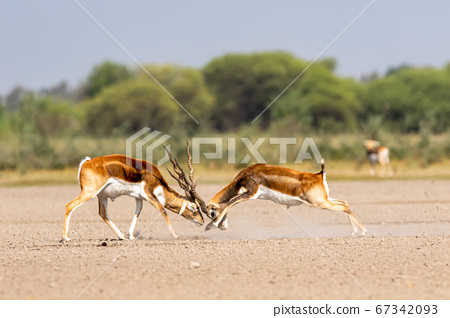 Two male blackbuck fighting in an open field Antilope fighting with full force from long horns in green background and scenic landscape with skyline at blackbuck national park Velavadar gujrat india 67342093