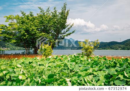Green lotus flower field at Dumulmeori in Yangpyeong, Korea 67352974