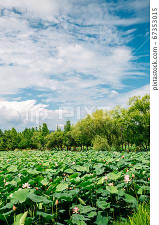 Lotus flower field at Semiwon garden in Yangpyeong, Korea 67353015