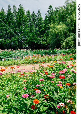 Colorful flower field at Semiwon garden in Yangpyeong, Korea 67353025