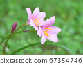 Light pink flowers 67354746