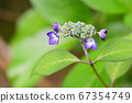 A small hydrangea with striking purple petals 67354749