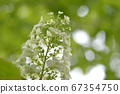 White hydrangea that looks a little like cotton candy 67354750