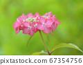 Pink hydrangea 67354756