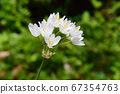 Pure white flowers blooming in the field 67354763