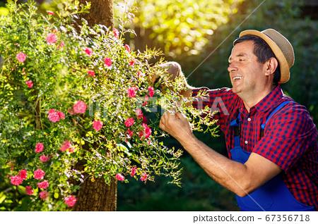gardener trimming rose bush with secateurs