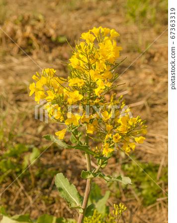 Blossoming  oilseed rape, brassica napus, 67363319