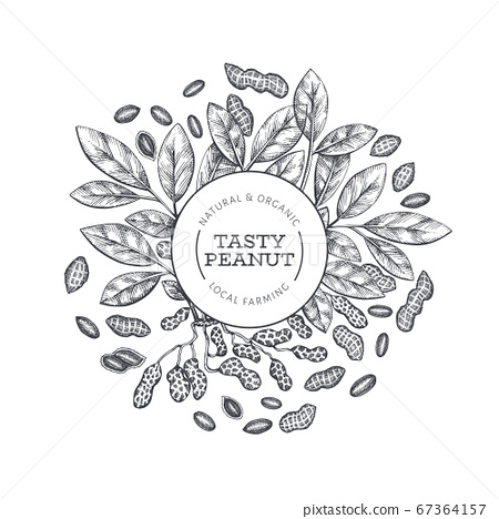 Hand drawn peanut branch and kernels design 67364157