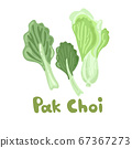 Pak Choi stock image. Stem Bok Chay. Chinese Cabbage. Vector illustration of a fresh pak choi isolated on a white background. Great for environmental articles, web design, dietary recommendations. 67367273