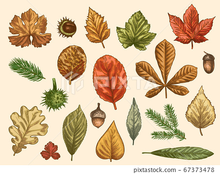 Hand drawn autumn leaves. Color falling forest foliage, october oak, acorn and chestnut, maple leaf vintage etching vector rustic set 67373478