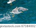Gull hunting down fish 67384002