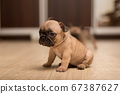 One-month-old French Bulldog puppy. Cute little puppy. 67387627