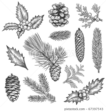 Sketch xmas branch. Christmas plants fir branches, pine cones and holly leaves with berries, boxwood, botanical vintage engraving vector set 67397543