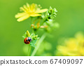 Macro photo of a ladybug on a plant with yellow 67409097