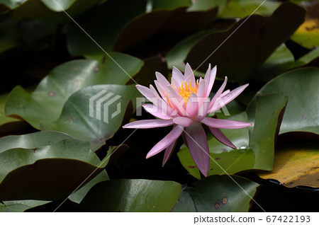 여름의 연못에 피는 수련 꽃 67422193