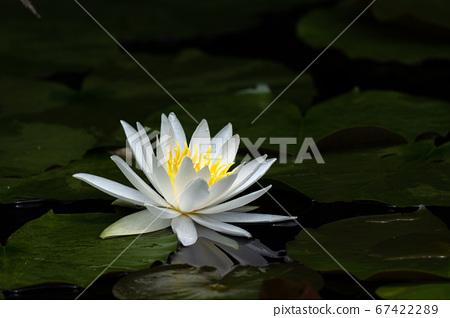 여름의 연못에 피는 흰 수련 꽃 67422289