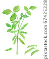 Glycine max green soybeans 67425228