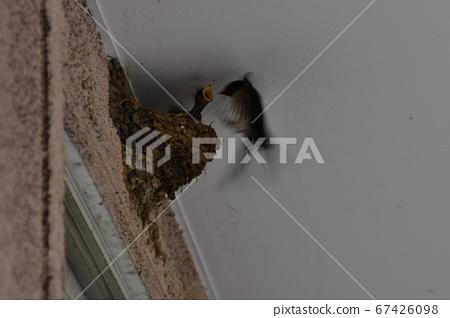 Swallow's raising children 67426098