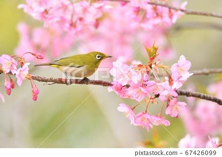 Mejiro on Kawazu cherry tree 67426099