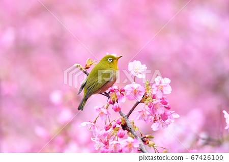Dark pink cherry blossoms and Japanese white-eye 67426100
