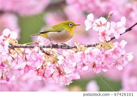 Kawazu cherry tree and mezzo 67426101