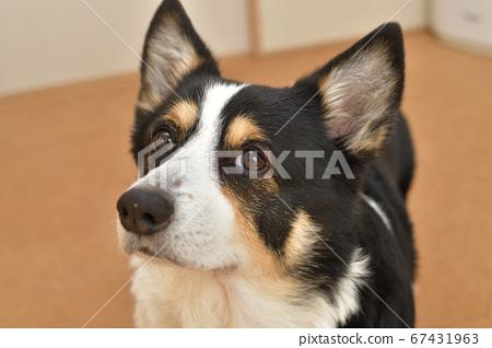 等待小吃的黑色柯基犬狗的臉向上 67431963