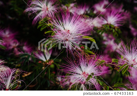 Not Cherry blossom(類櫻花) 67433163