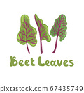 Beet leaves. Beet greens cute vector stock illustration. Fresh swiss chard leaves isolated on white. Botanical hand-drawn icon. Great for menu, farm product promotion, healthy food, culinary 67435749