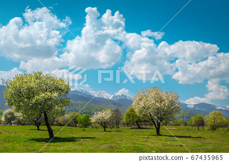 Admirable spring alpine landscape with blossoming orchard and snowy mountains 67435965