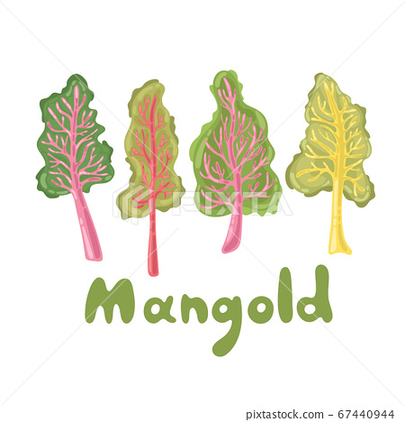 Mangold or Swiss chard illustration. Mangold leaves, healthy food vegetable. Lifestyle concept, culinary herb. Flat vector design, great for menu, farm product promotion, healthy food, culinary 67440944