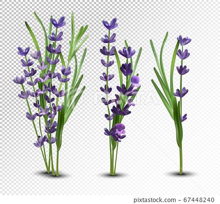 3D realistic flowers lavender with green leaf. Collection bouquet lavender. Fragrant lavender on transparent background. Bunch beautiful lavender closeup. Vector illustration. 67448240