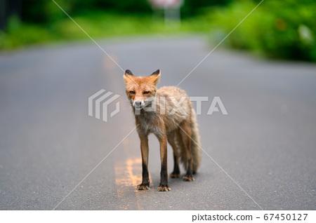 Kita fox 67450127