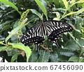 剛出現的燕尾蝴蝶 67456090