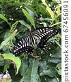 剛出現的燕尾蝴蝶 67456091
