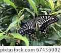 剛出現的燕尾蝴蝶 67456092