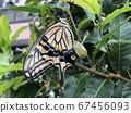 剛出現的燕尾蝴蝶 67456093