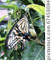 剛出現的燕尾蝴蝶 67456094